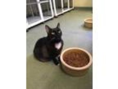 Adopt Lilith a All Black Domestic Shorthair / Domestic Shorthair / Mixed cat in