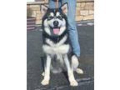 Adopt Montana a White Husky / Mixed dog in Clearfield, PA (24483604)