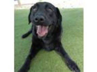 Adopt Sammy #3 a Black Labrador Retriever / Mixed dog in Rockville