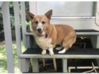 Adopt Foxy a Tan/Yellow/Fawn - with White Pembroke Welsh Corgi / Mixed dog in