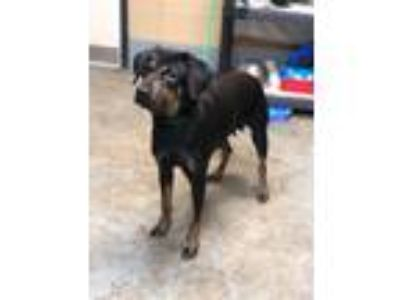 Adopt Layla a Rottweiler / Mixed dog in Laingsburg, MI (25584053)