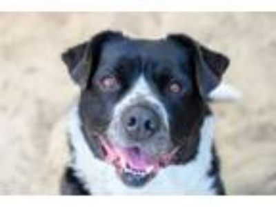 Adopt Buffalo Bill a Black - with White Border Collie / American Staffordshire