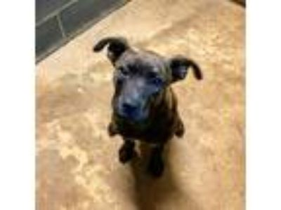 Adopt Sir Buttercup a Plott Hound / Labrador Retriever / Mixed dog in Jasper