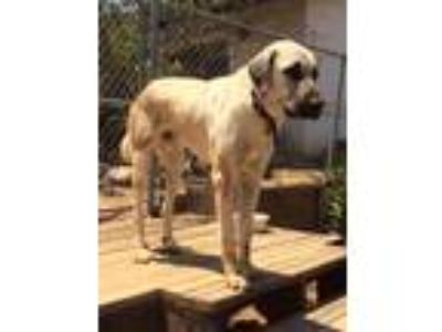 Adopt Chobi a Tan/Yellow/Fawn Anatolian Shepherd / Mixed dog in Riverside