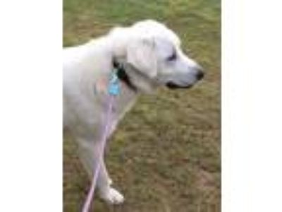 Adopt Cooper a White Akbash / Great Pyrenees / Mixed dog in Waynesboro