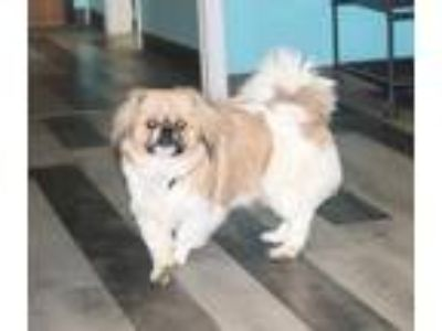 Adopt Colby a Pekingese / Mixed dog in Washington Court House, OH (25249555)