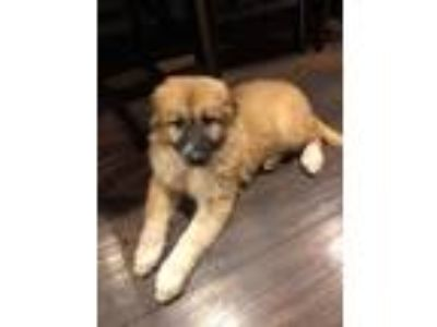 Adopt Oakley a Tan/Yellow/Fawn - with Black Great Pyrenees / Belgian Malinois /