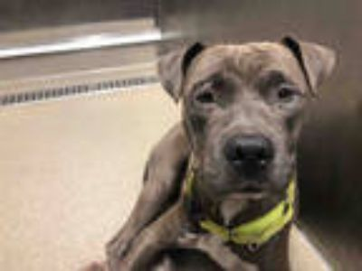 Adopt TIKI a Gray/Silver/Salt & Pepper - with White American Staffordshire