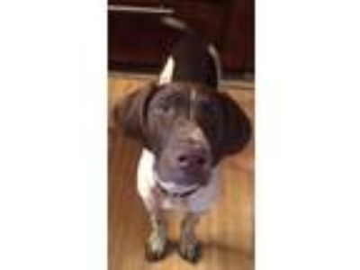 Adopt Lilly Bob DFW a German Shorthaired Pointer