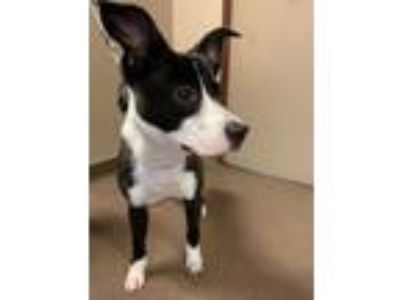 Adopt Angel a Border Collie, Mixed Breed