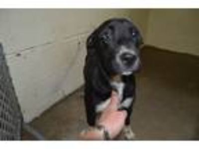 Adopt Laloo a Pit Bull Terrier
