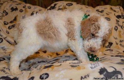 Eastpointe QPJK #! poodle Puppies