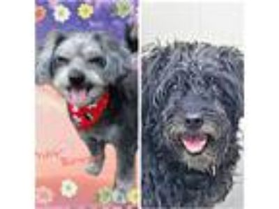 Adopt Lucy & Dexter a Black Poodle (Miniature) / Terrier (Unknown Type