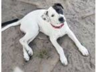 Adopt Davia a Jack Russell Terrier, English Pointer