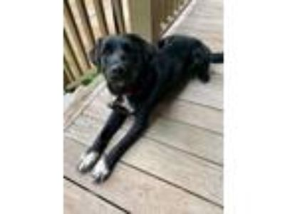 Adopt Feather a Black - with White Labrador Retriever / Australian Shepherd /