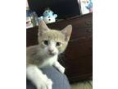 Adopt Scotch KITTEN a Tabby