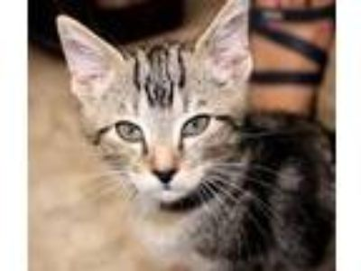 Adopt Sam a Domestic Short Hair