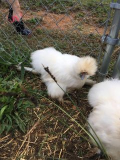 Looking for silkie hen