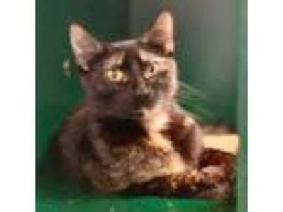 Adopt Gilly a Orange or Red Domestic Shorthair / Domestic Shorthair / Mixed cat