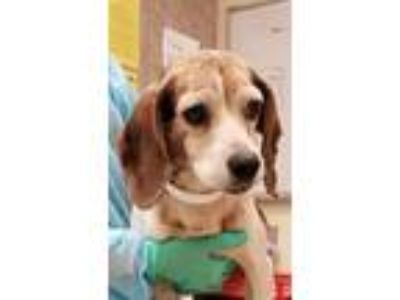 Adopt Betty a Beagle / Mixed dog in Birmingham, AL (25628533)
