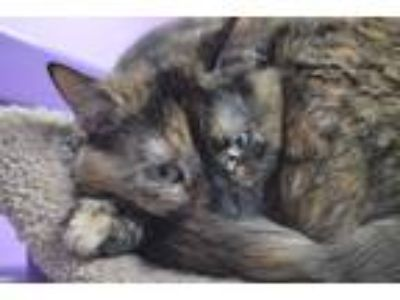 Adopt Diana a Tortoiseshell Domestic Shorthair (short coat) cat in House