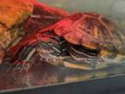 Adopt Ketchup a Turtle - Other / Mixed reptile, amphibian