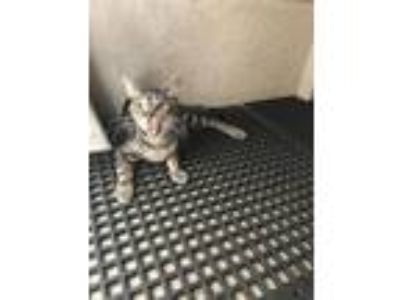 Adopt Boxwood a Domestic Short Hair