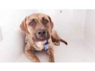 Adopt LANCELOT a Brindle - with White American Pit Bull Terrier / Mixed dog in