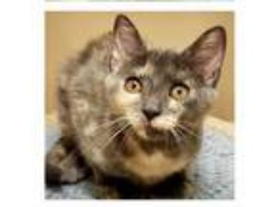 Adopt Bee (PetValu Sicklerville) a Domestic Short Hair