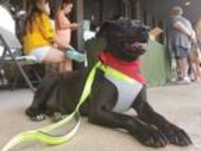 Adopt Bella a Black Labrador Retriever dog in oklahoma city, OK (24188508)