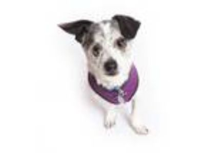 Adopt Bogard a White Terrier (Unknown Type, Small) / Mixed dog in San Francisco