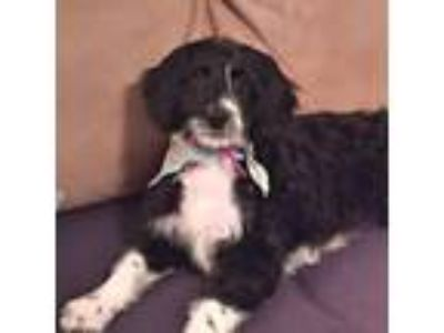 Adopt *Paylee a Black - with White Australian Shepherd / Poodle (Standard) /