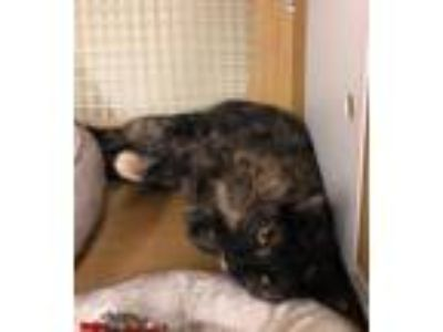 Adopt Vivian a Tortoiseshell, Oriental Short Hair