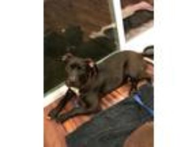 Adopt Rocco (Saint litter) a Black - with White American Pit Bull Terrier dog in