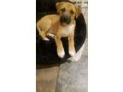 Adopt Marci a Boxer / German Shepherd Dog / Mixed dog in Pittstown