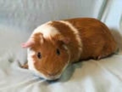 Adopt PIGGLE a Brown or Chocolate Guinea Pig / Mixed small animal in Urbana