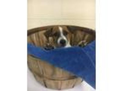 Adopt Patriot a Jack Russell Terrier, Hound