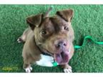 Adopt MOOSE a Brown/Chocolate Shar Pei / American Pit Bull Terrier / Mixed dog