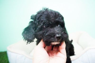 Maltipoo Puppy – Female- Crystal ($1,299)