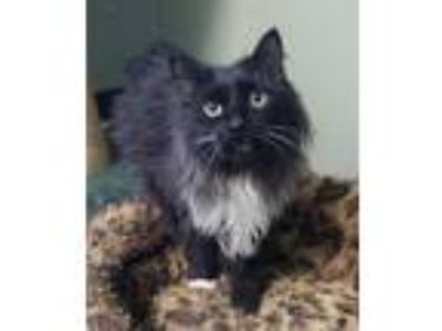 Adopt Chloe a All Black Domestic Longhair / Domestic Shorthair / Mixed cat in