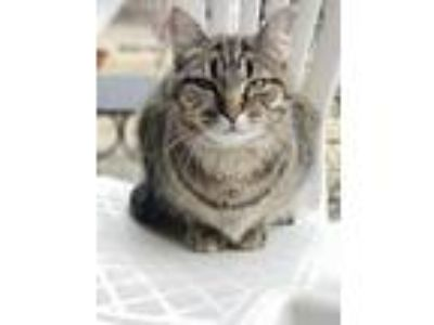 Adopt Phyllis a Domestic Short Hair