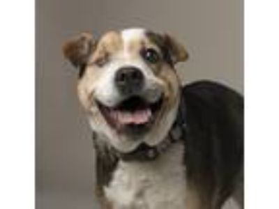 Adopt Bella a White - with Brown or Chocolate Foxhound / Beagle / Mixed dog in