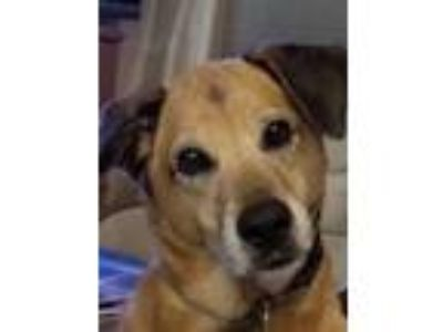 Adopt Lulu a Labrador Retriever, Yellow Labrador Retriever