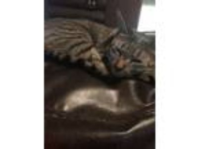 Adopt Queen Victoria Vicky a Brown Tabby American Shorthair / Mixed cat in