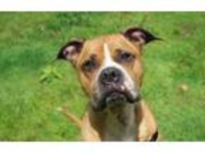 Adopt Layla a Brown/Chocolate Boxer / Mixed dog in Pittsfield, MA (25492875)