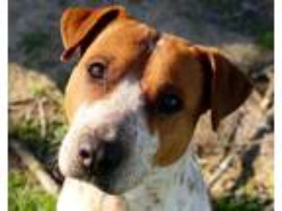 Adopt Stubby JuM a White - with Red, Golden, Orange or Chestnut Pit Bull Terrier