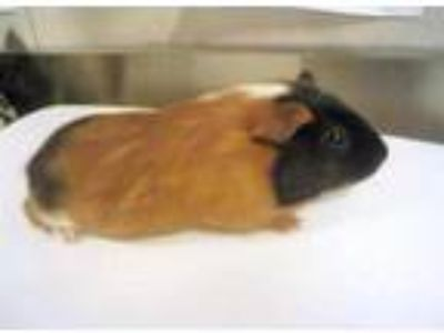 Adopt Patty a Brown or Chocolate Guinea Pig / Guinea Pig / Mixed small animal in