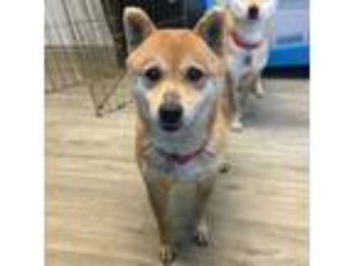 Adopt Ronella a Tan/Yellow/Fawn Shiba Inu / Mixed dog in Port Washington