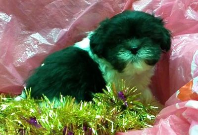 Shorkie Tzu PUPPY FOR SALE ADN-96552 - shorkie puppies shih tzu yorkie 3 maless avialable