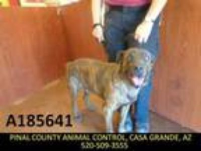 Adopt BUD a Labrador Retriever, Dutch Shepherd
